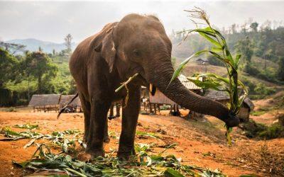 Asiens Elefanten: Auswildern ist keine Option